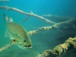 swimming_bass